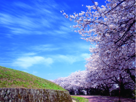 cherry blossoms at Oohori Park .jpg