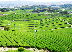 Yame Central Tea Plantation